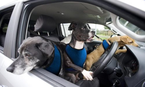 Volkswagen announces paw-wheel-drive; teaching dogs to drive