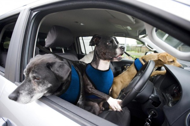 Volkswagen paw-wheel-drive dogs driving