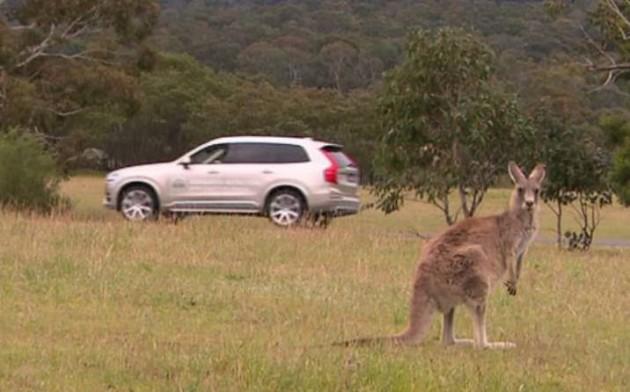Volvo kangaroo detection-kangaroo